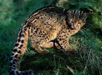 Gato jaspeado 3