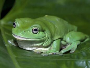 Steven-david-miller-green-tree-frog-litoria-caerulea-on-leaf-northern-territory-australia a-G-2636405-14258389