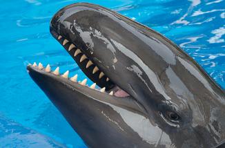 Orca falsa 2