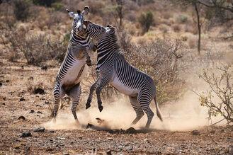 Grevy-zebra-equus-grevyi-stallions-fighting-15195766