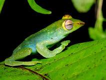 Jade-tree-frog 5595