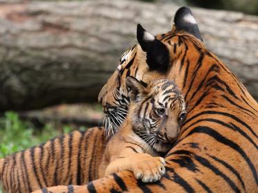 Tigresa y cria