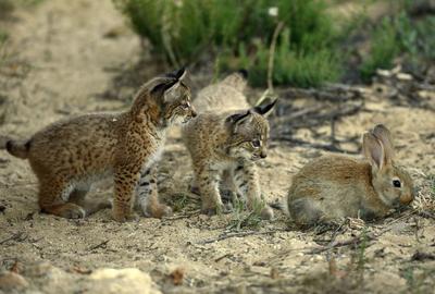 Crias de lince iberico y conejo