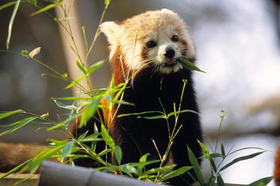 Panda rojo 6