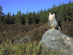 Habitat halcon peregrino