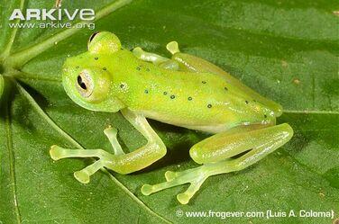 Nymphargus-cochranae-on-leaf