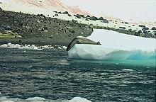 220px-Antarctic, Leopard Seal (js) 33