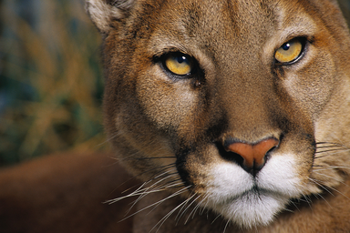 Puma 9