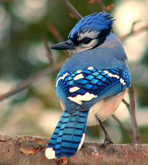 Urraca azul 5
