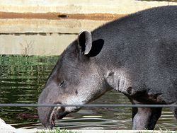 250px-Tapir2006a