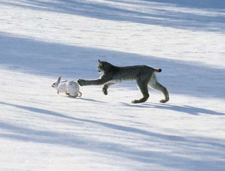 Lince canadiense 8