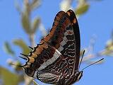 Mariposa del Madroño