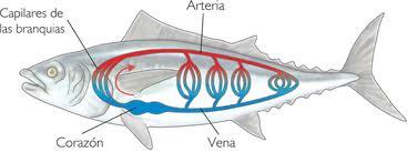 Sistema circulatorio pez