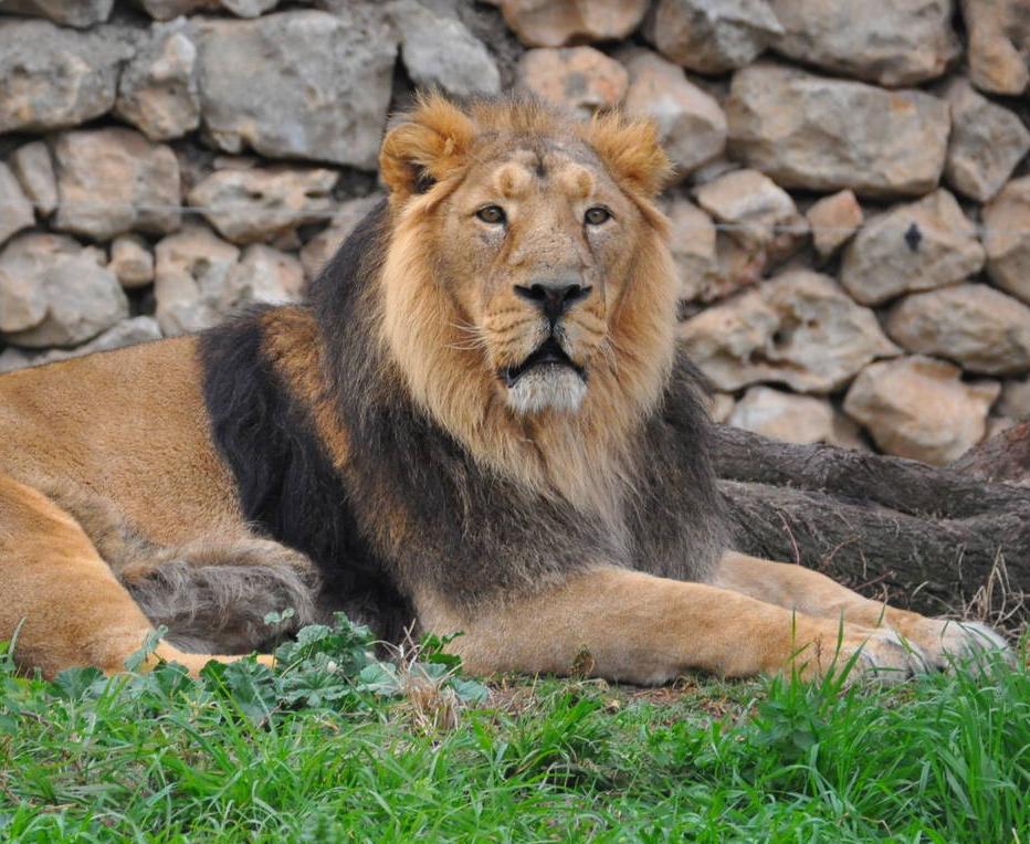 Leon Asiatico Wiki Reino Animalia Fandom Powered By Wikia