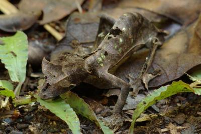 Gecko satanico 1