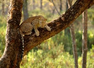 Leopardo indio 1