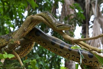 Anaconda verde 1