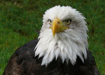 Aguila calva wiki