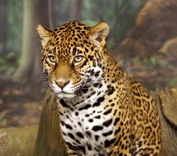 Jaguar 10
