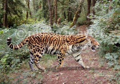 Tigre de longdan 1