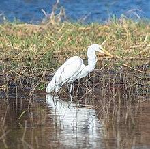 220px-Garceta grande (Ardea alba), parque nacional de Chobe, Botsuana, 2018-07-28, DD 53