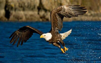 Aguila calva hermosa