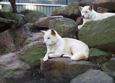 Dingo albinos