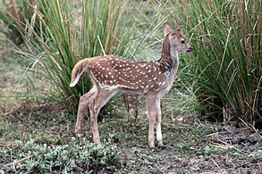 293px-Spotted deer (Axis axis) newborn