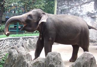 Elefante de sumatra 1