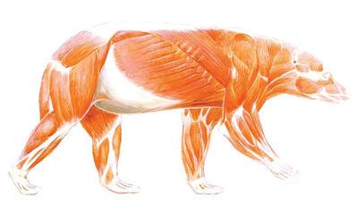 Musculos del oso pardo
