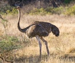Avestruz somali 3