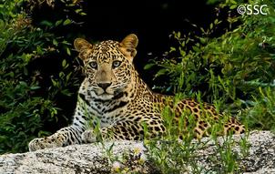 Leopardo indio 7