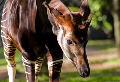 Okapi 4