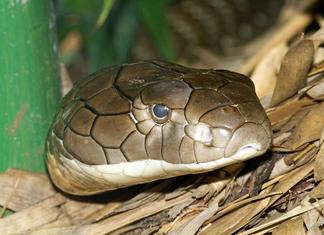 Cobra real 6