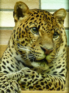 Leopardo de java 5