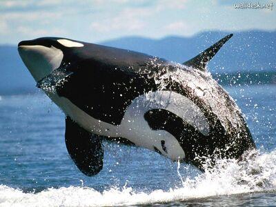 Orca saltando