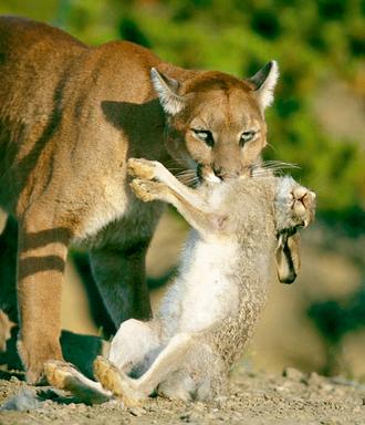 Puma y liebra