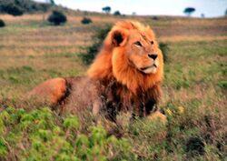 LionInKenya