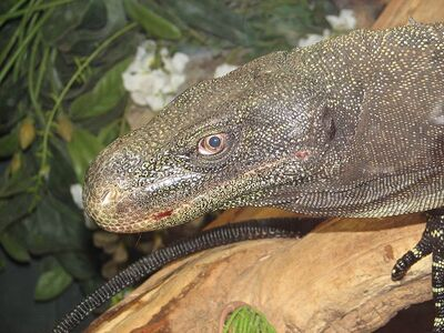 800px-Crocodile Monitor