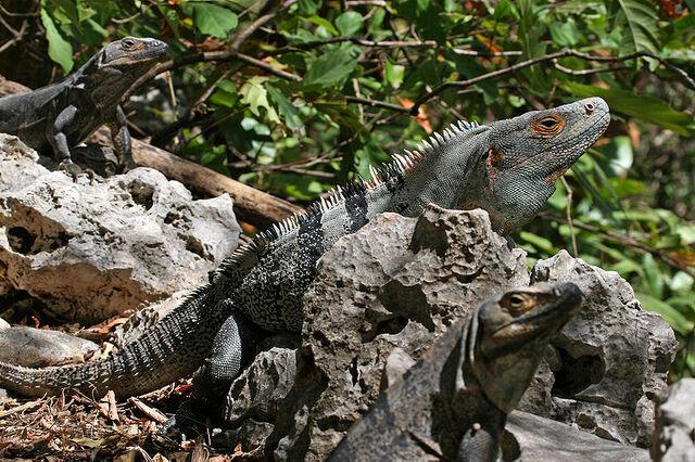 File:800px-CtenosauraSimilis.jpg