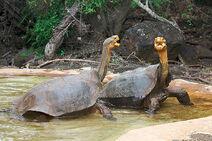 Galapagos dominance display