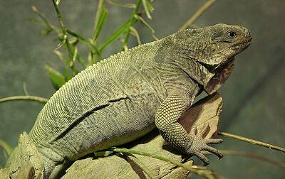 Stout Iguana