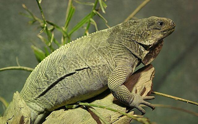 File:Stout Iguana.jpg