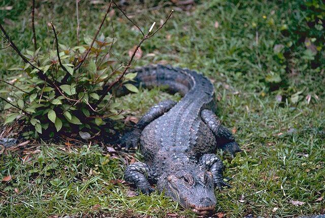File:800px-China-Alligator.jpg