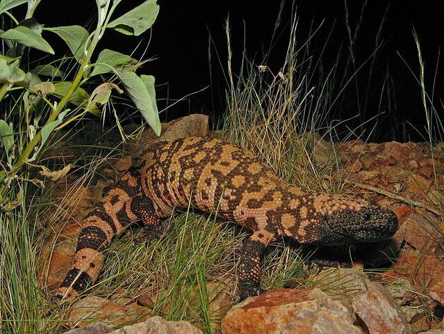 File:Gila Monster.jpg