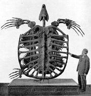 Archelon skeleton