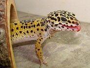 300px-Gecko999