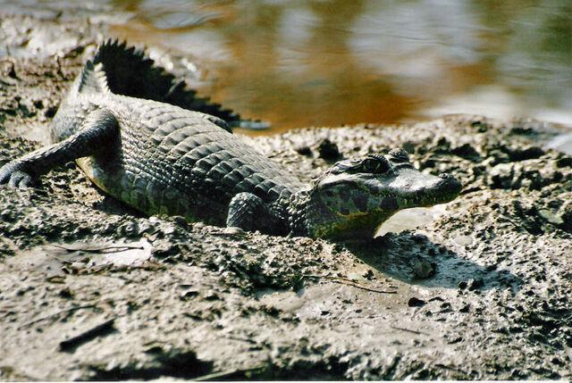 File:Yacare caiman.jpg