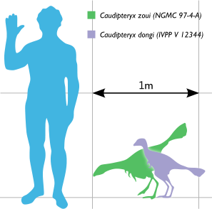 File:Caudipteryx Scale.png