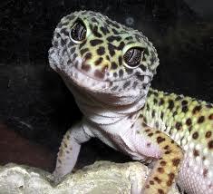 Leopard Gecko 1